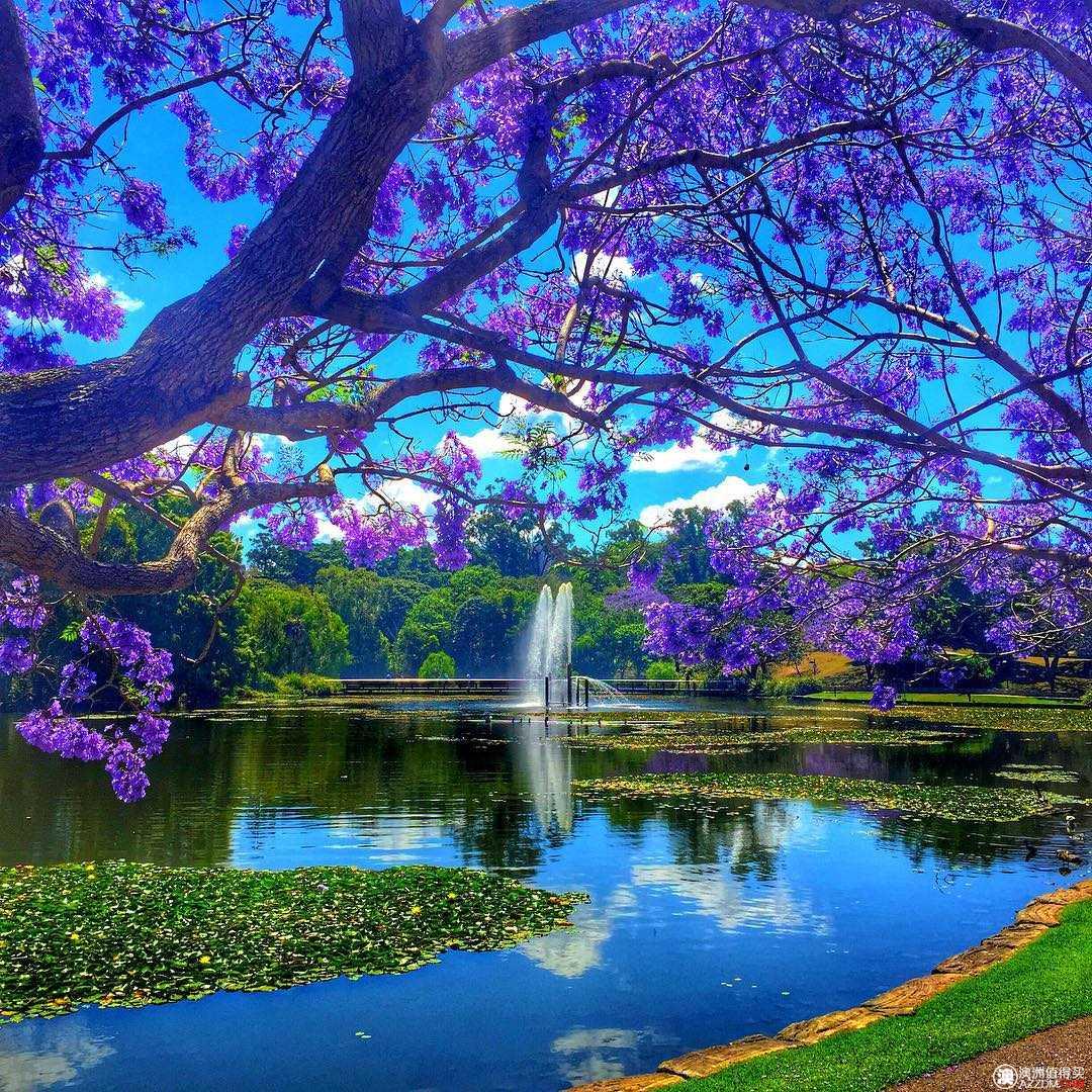 在这个蓝花楹盛开的时刻