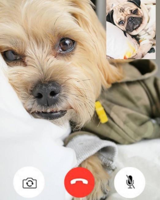 澳八哥犬太蠢萌 吃吃睡睡就成新晋网红